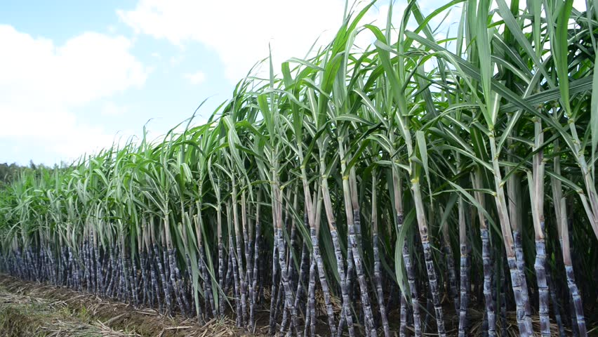 Sugarcane workers win wage dispute arbitration case